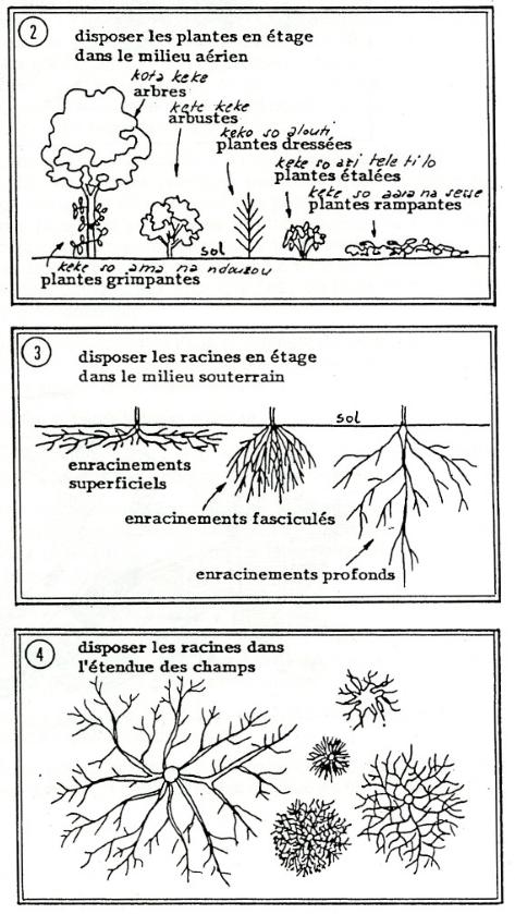 YAKA 2 disposition des plantes et les racines