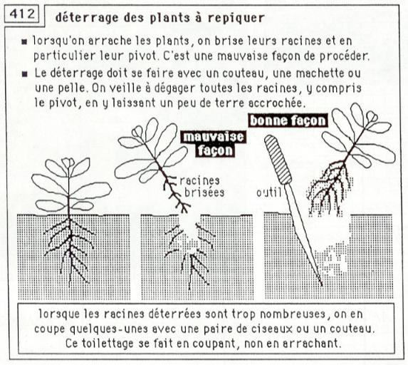 déterrage des plants à repiquer