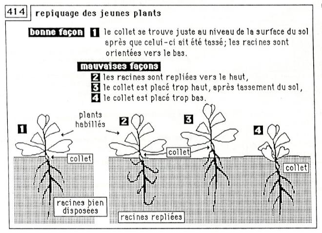 repiquage des jeunes plants