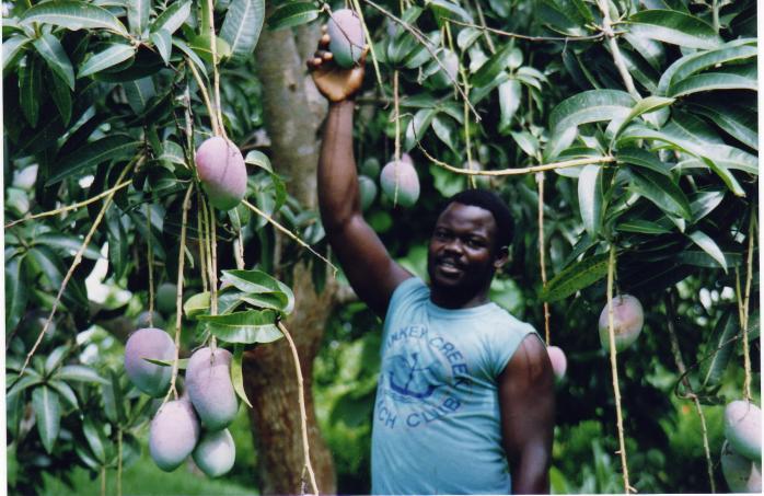 cultivation Mango